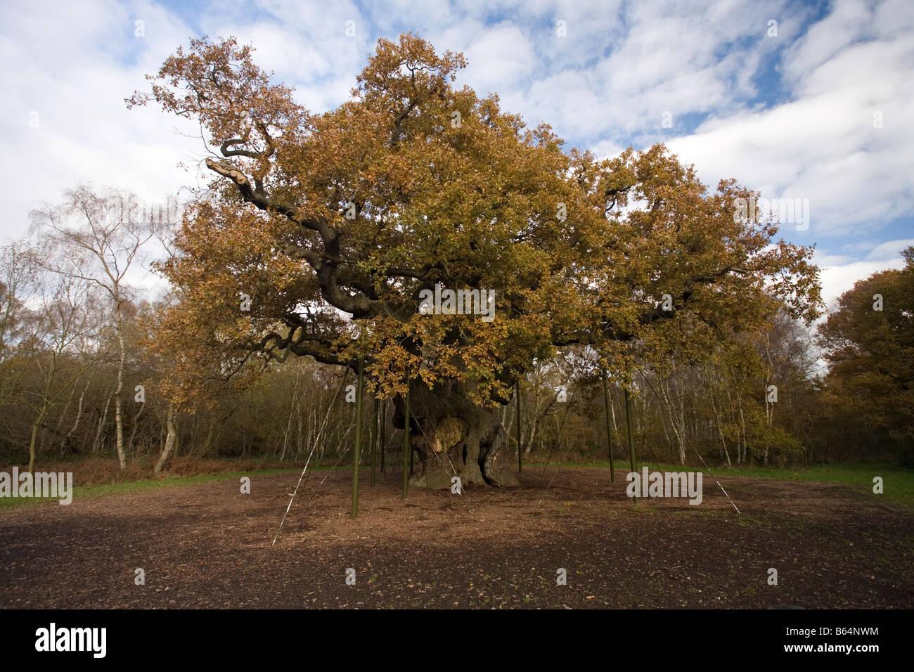 Major Oak Sherwood Forest - Stock Image