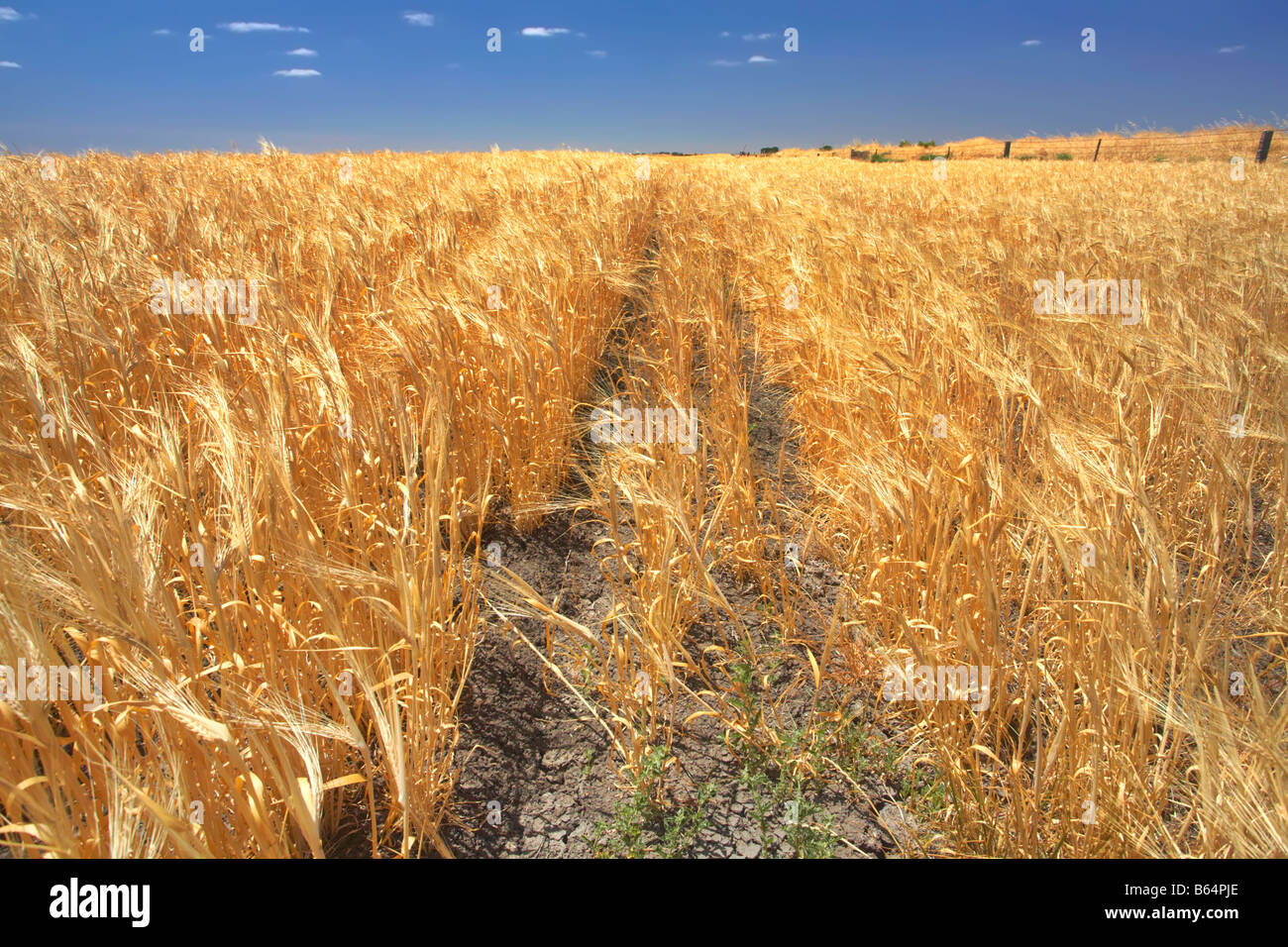 Narrung Wheat Field - Stock Image
