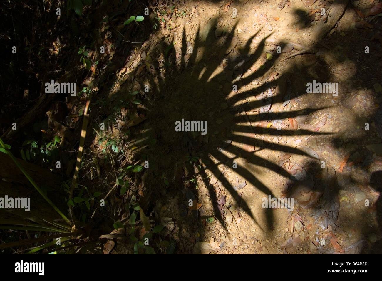 Fan Palm frond shaddow on the Reef Bay Trail St. John USVI - Stock Image