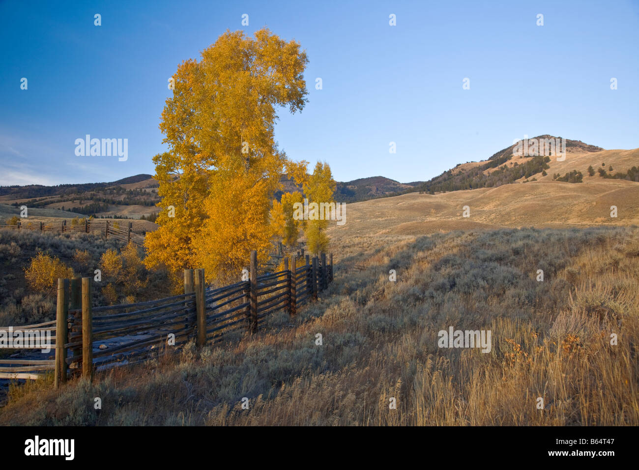 Yellowstone National Park WY: Fall colored cottonwood trees along the coral fence at Buffalo Ranch in the Lamar - Stock Image