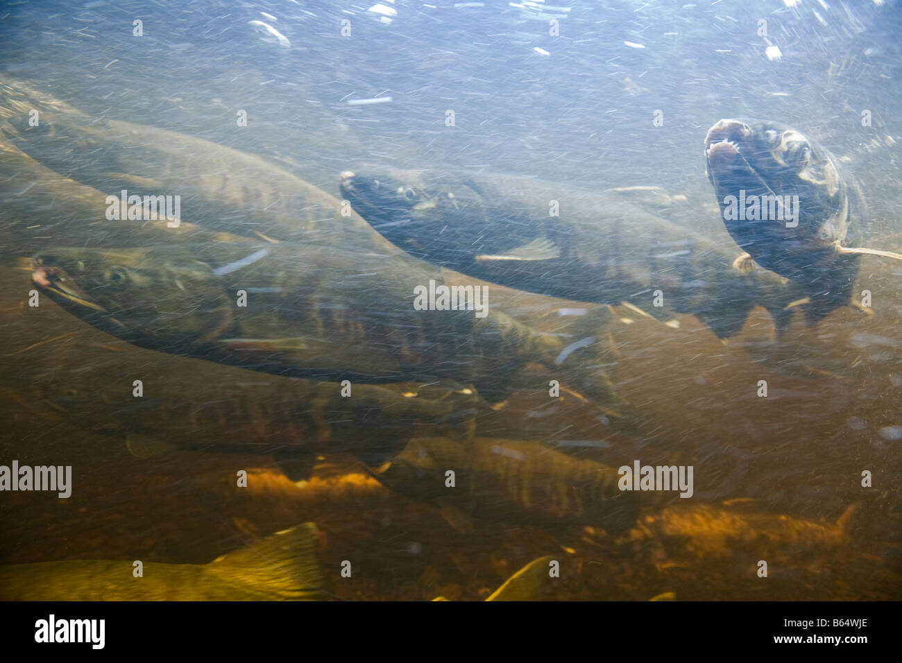 USA Alaska Kake Underwater view of Chum Salmon Oncorhynchus keta spawning in Gunnuck Creek - Stock Image