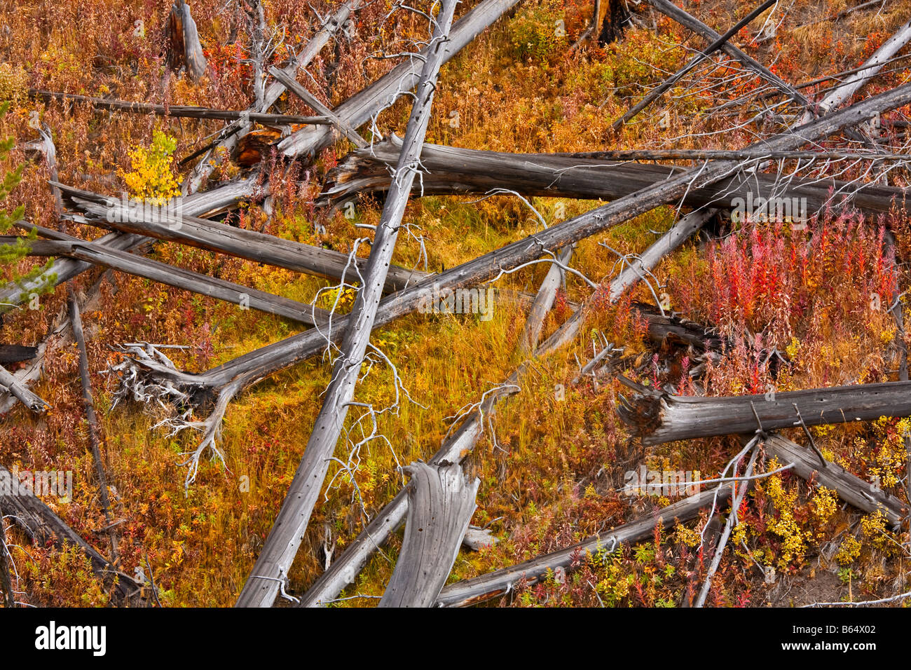 Yellowstone National Park WY: Weathered windfall trees on the Blacktail Plateau - Stock Image