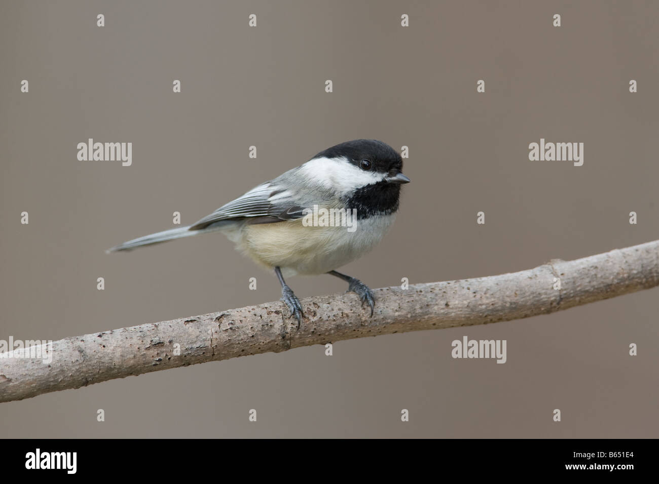 Black-capped Chickadee (Poecile atricapillus) perched on a tree limb - Stock Image