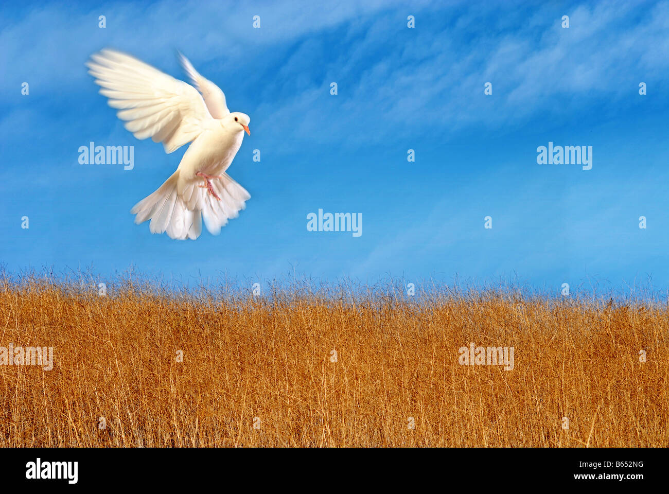 flying white dove - Stock Image