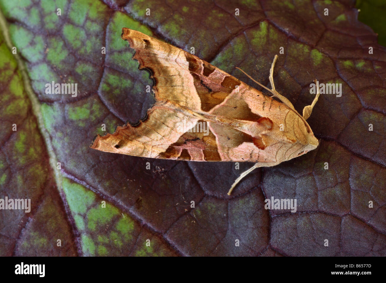 Angle Shades Moth (Phlogophora meticulosa). Powys, Wales. - Stock Image