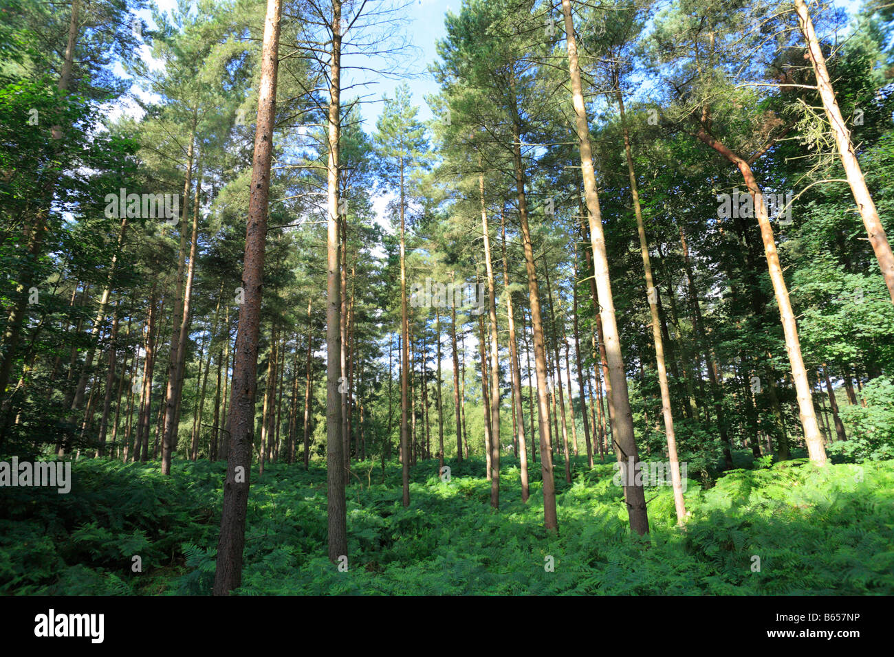 Pine woodland in Thetford Forest. Breckland district, Norfolk, England. - Stock Image