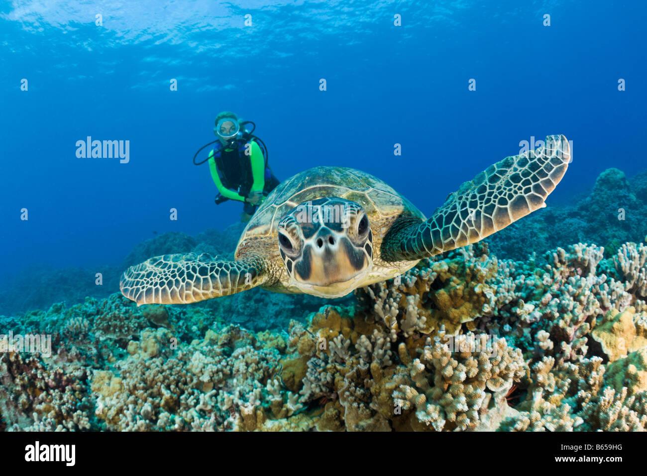Green Turtle and Diver Chelonia mydas Maui Hawaii USA Stock Photo
