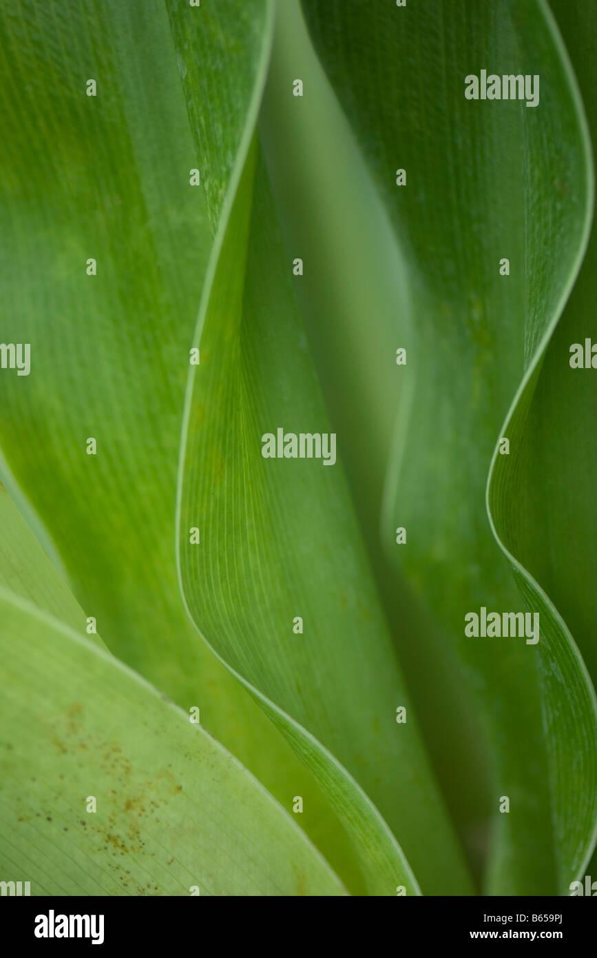 Green foliage, close-up - Stock Image