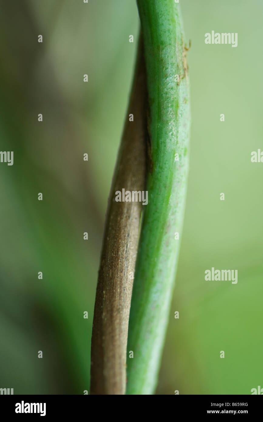 Intertwined stems, close-up - Stock Image