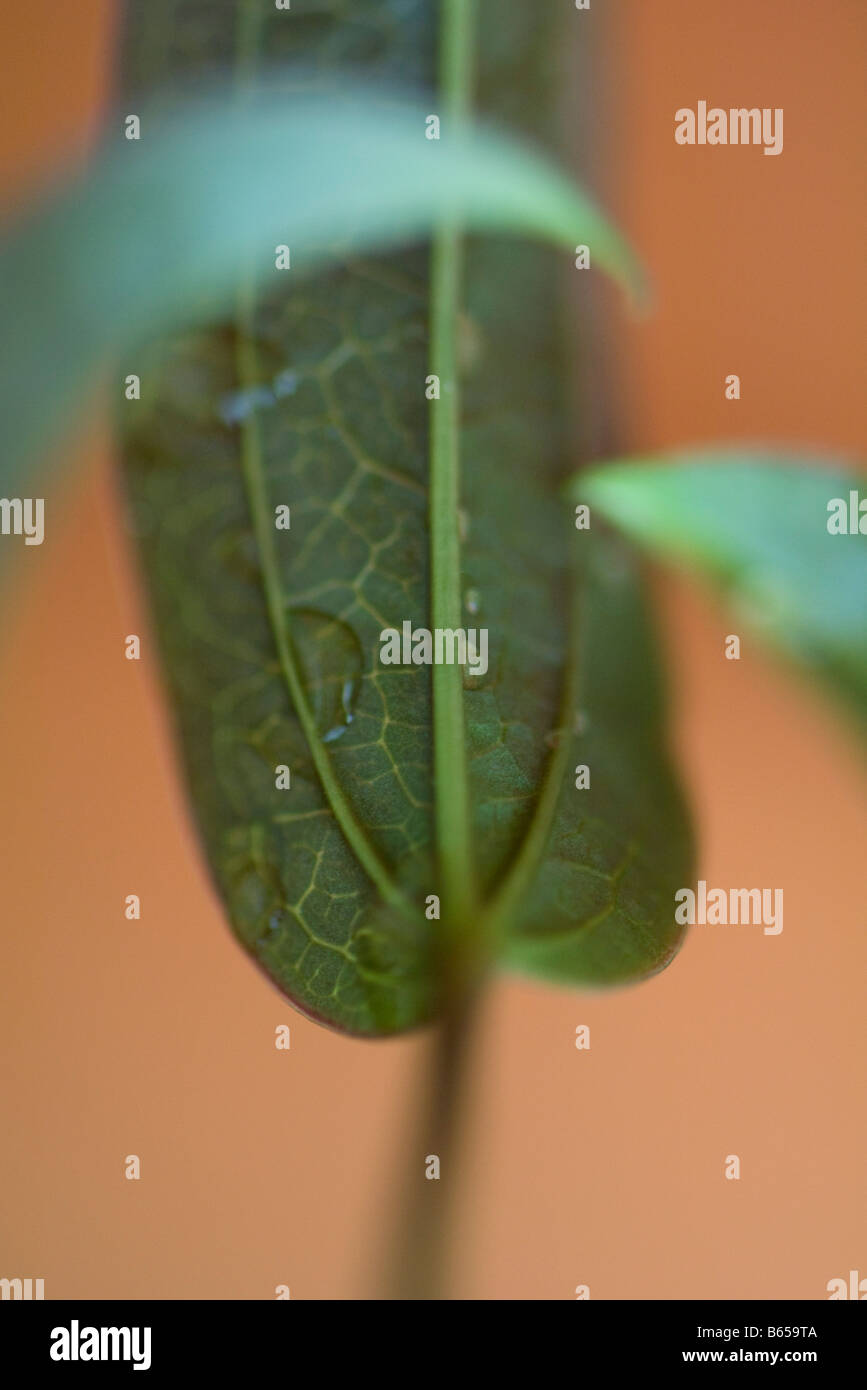 Underside of leaf with dew drops, close-up Stock Photo