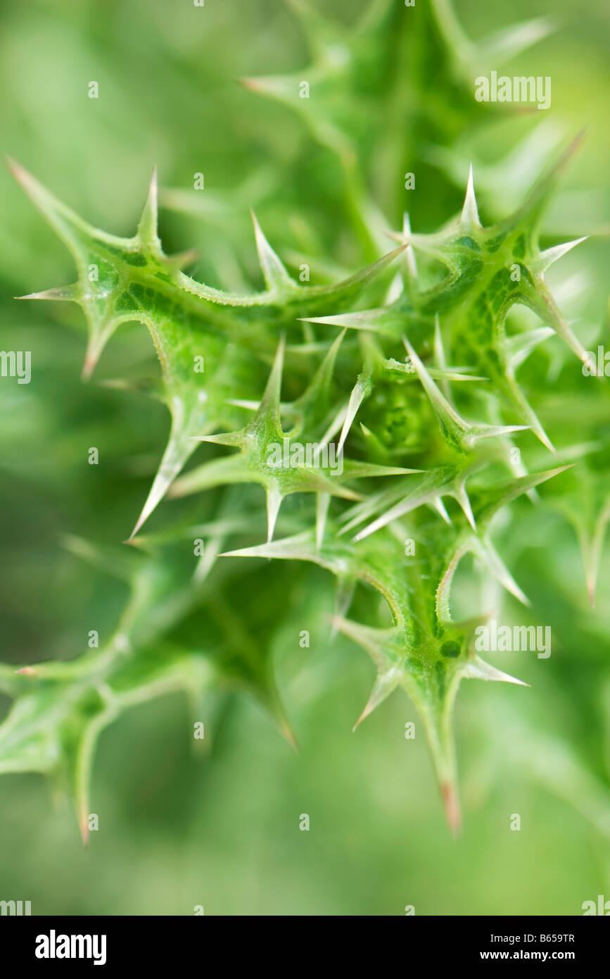 Plant with prickly foliage, close-up - Stock Image