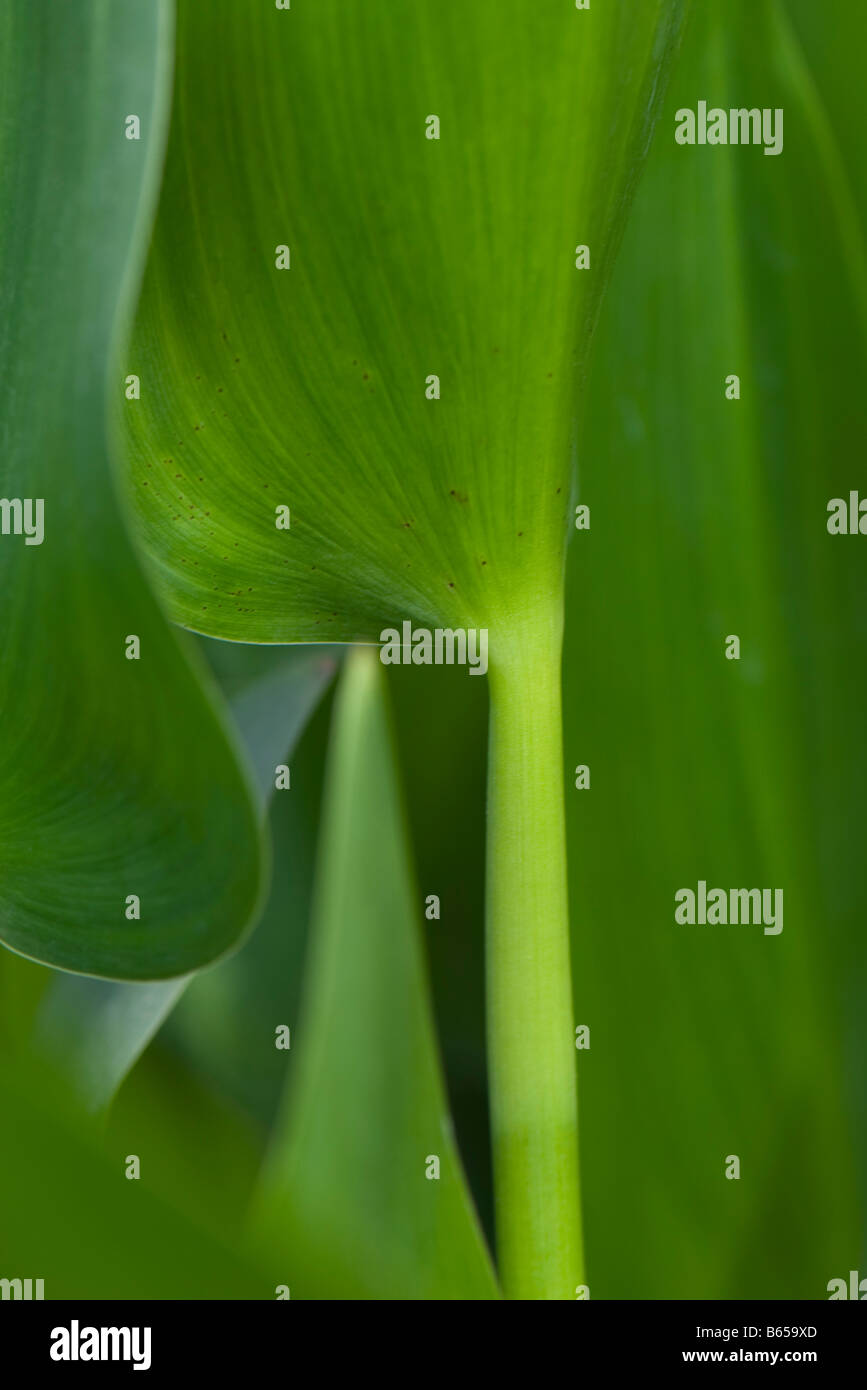 Lush green plant, close-up - Stock Image