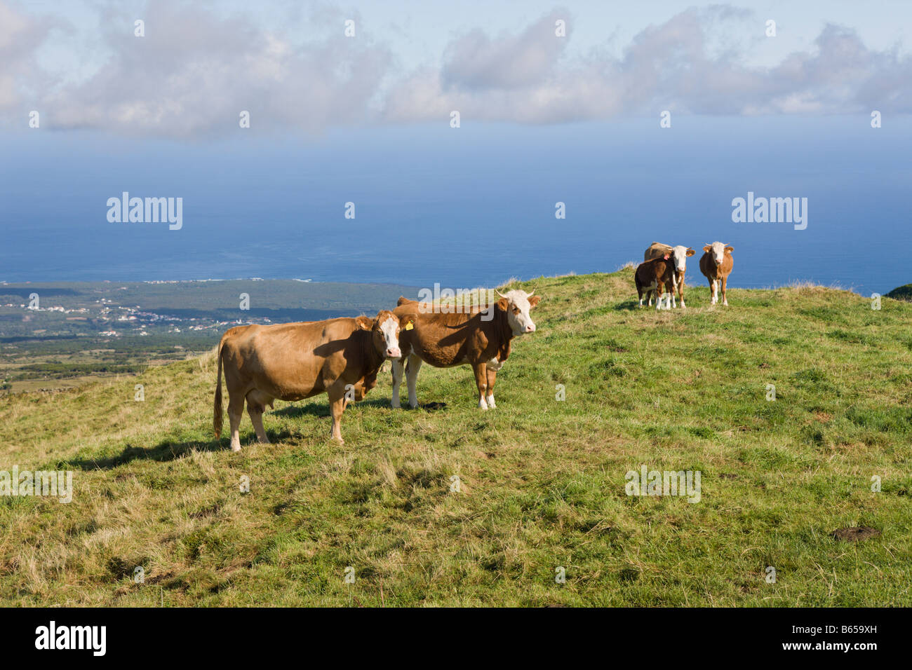Cows on the Field Bos taurus Pico Island Azores Portugal - Stock Image