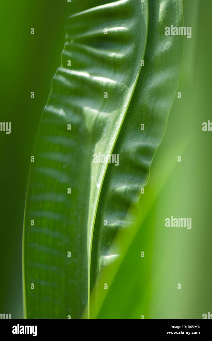 Wrinkled leaves, close-up - Stock Image