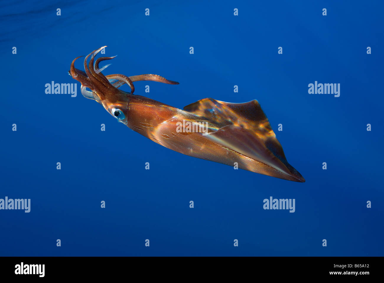 Veined Kalmar Loligo forbesi Azores Atlantic Ocean Portugal - Stock Image
