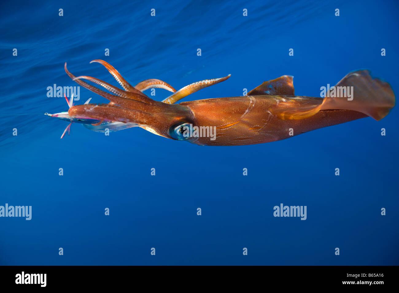 Veined Kalmar on Fish Hook Loligo forbesi Azores Atlantic Ocean Portugal - Stock Image