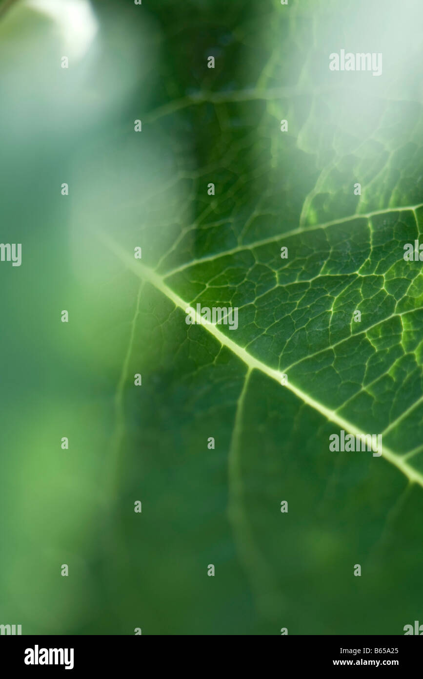 Leaf veins, selective focus - Stock Image