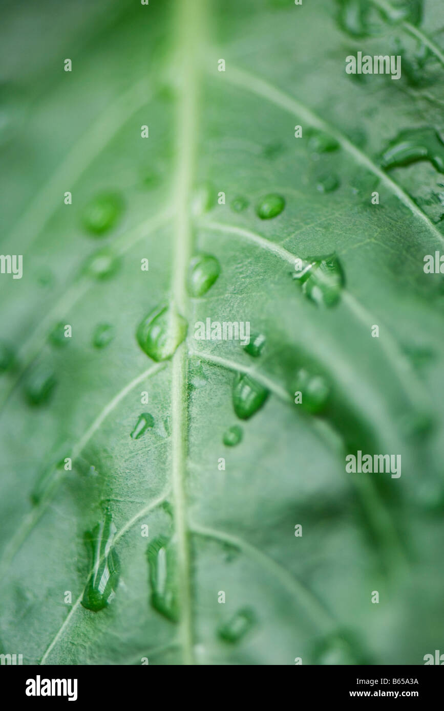 Raindrops on leaf, extreme close-up - Stock Image