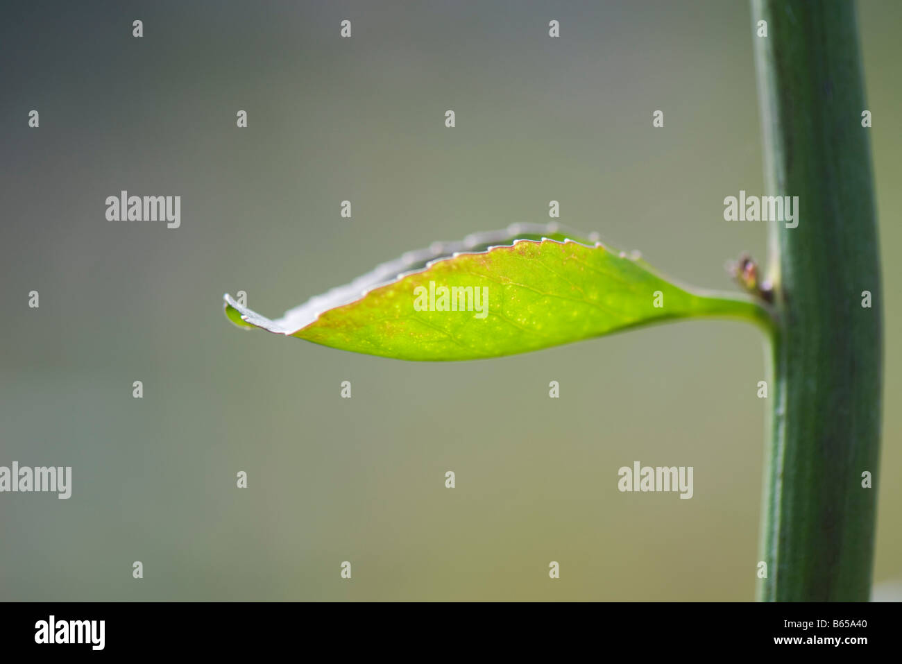New leaf growing on stem, close-up - Stock Image