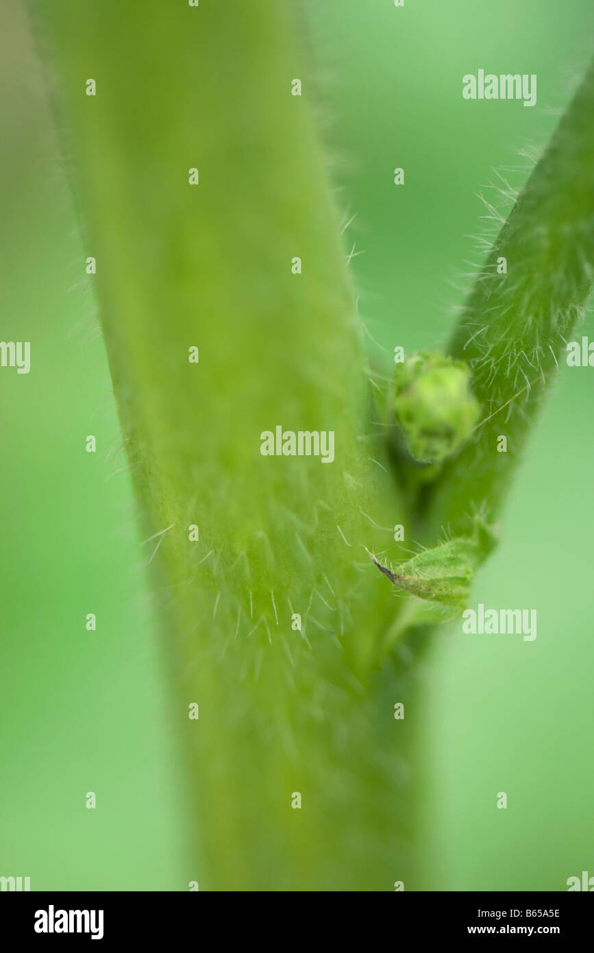Stem node with leaf bud and stipule, extreme close-up - Stock Image