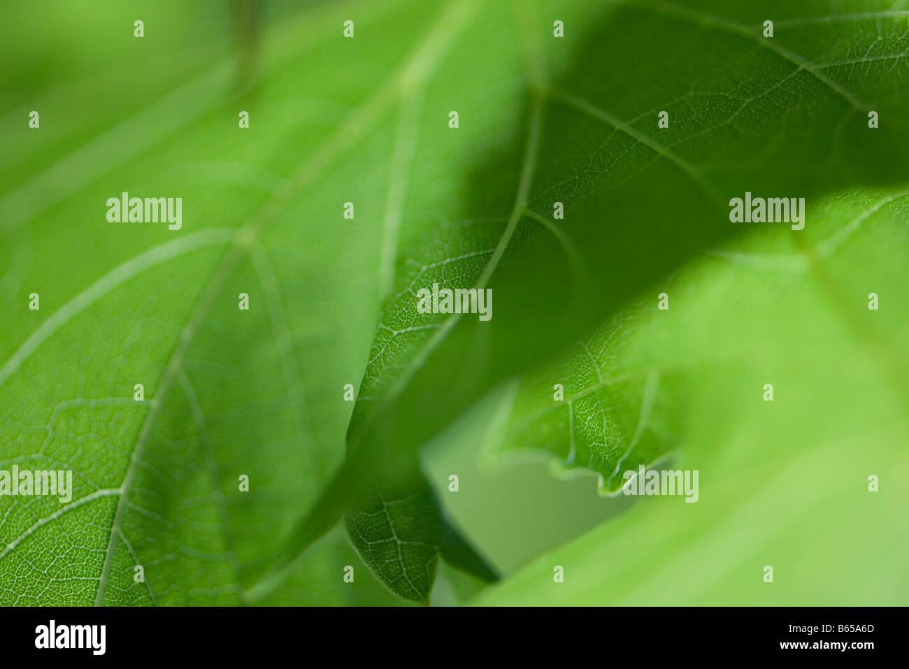 Green foliage, extreme close-up - Stock Image
