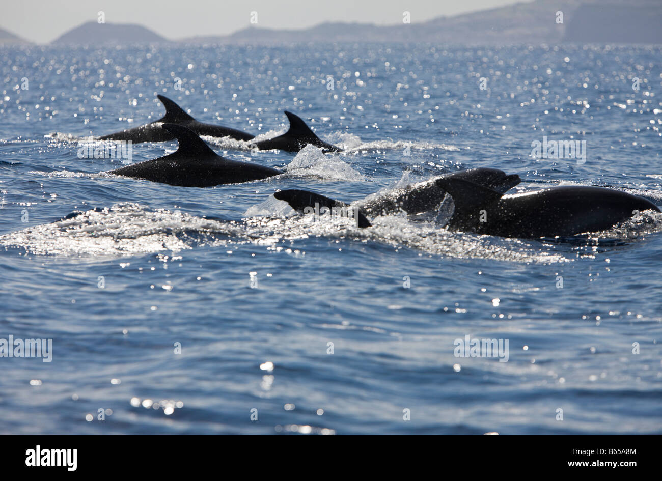 Bottlenose Dolphins Tursiops truncatus Azores Atlantic Ocean Portugal Stock Photo