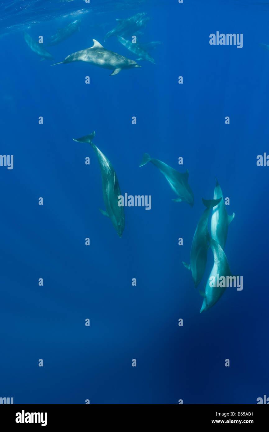 Bottlenose Dolphins Tursiops truncatus Azores Atlantic Ocean Portugal - Stock Image