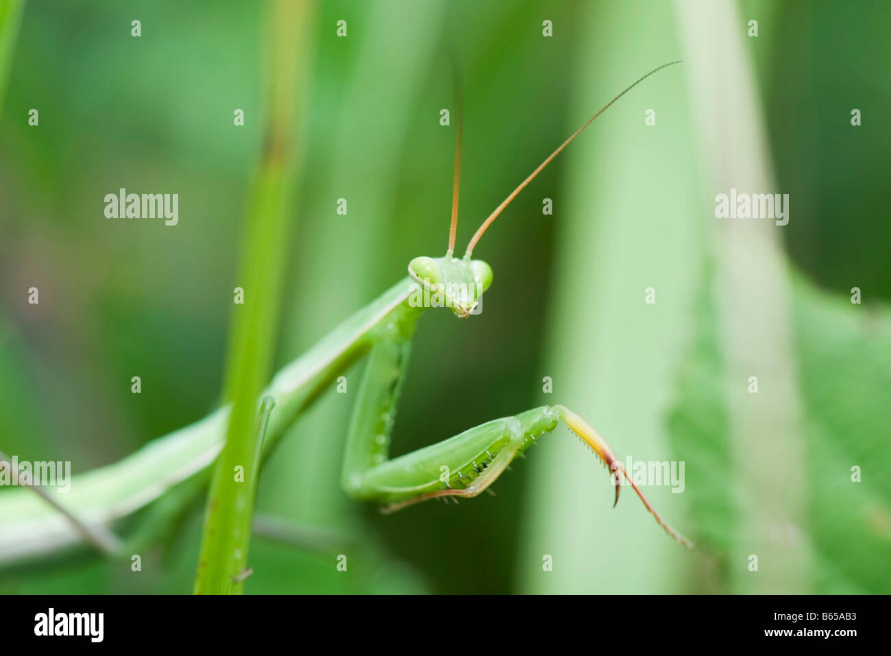 Praying Mantis partially concealed by greenery - Stock Image