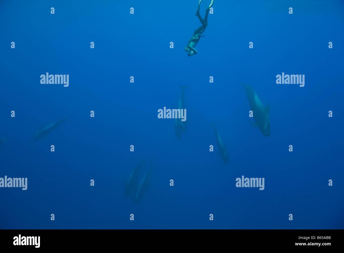 Photographer and Risso Dolphins Grampus griseus Azores Atlantic Ocean Portugal - Stock Image
