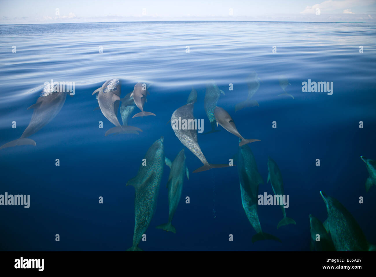 Atlantic Spotted Dolphins Stenella frontalis Azores Atlantic Ocean Portugal - Stock Image