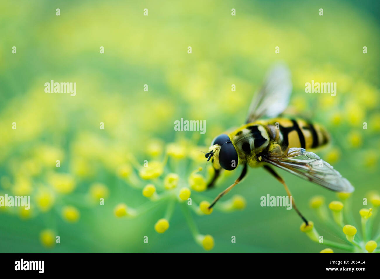 Hoverfly perched on flower head - Stock Image