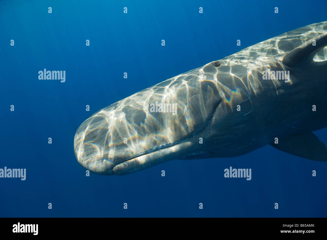 Sperm Whale Physeter catodon Azores Atlantic Ocean Portugal - Stock Image