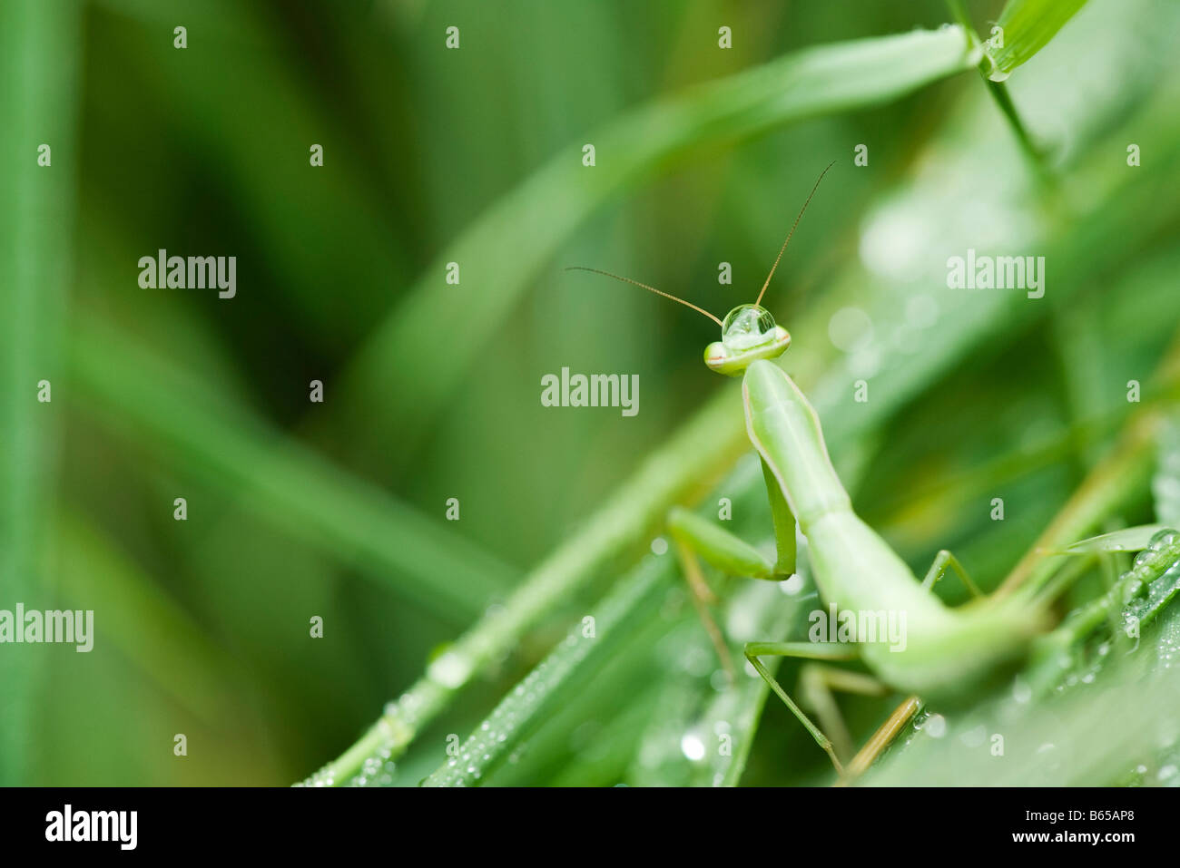 Praying Mantis blending in with it's green environment, hunting prey - Stock Image