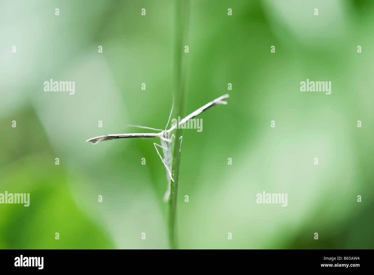 Plume moth (stenoptilia pterodactyla) perched on stem of plant - Stock Image
