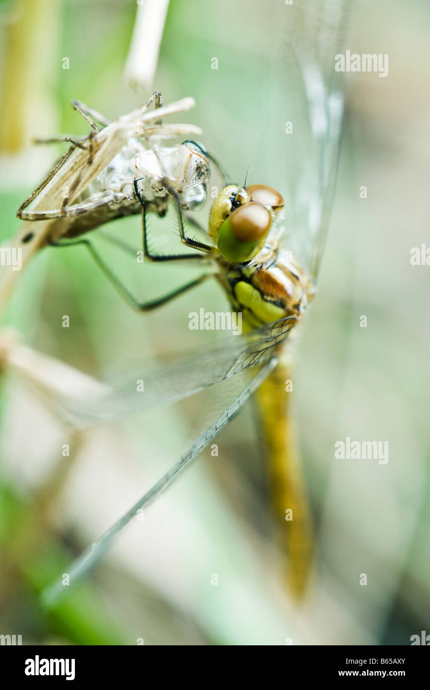 Dragonfly recently emerged from old exoskeleton clinging to empty husk, drying wings - Stock Image