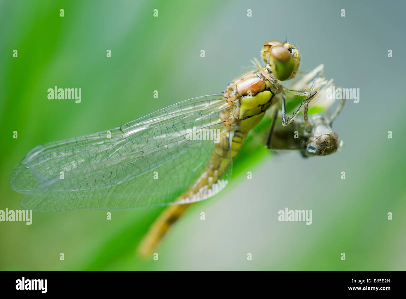 Dragonfly newly emerged from old exoskeleton drying wings - Stock Image