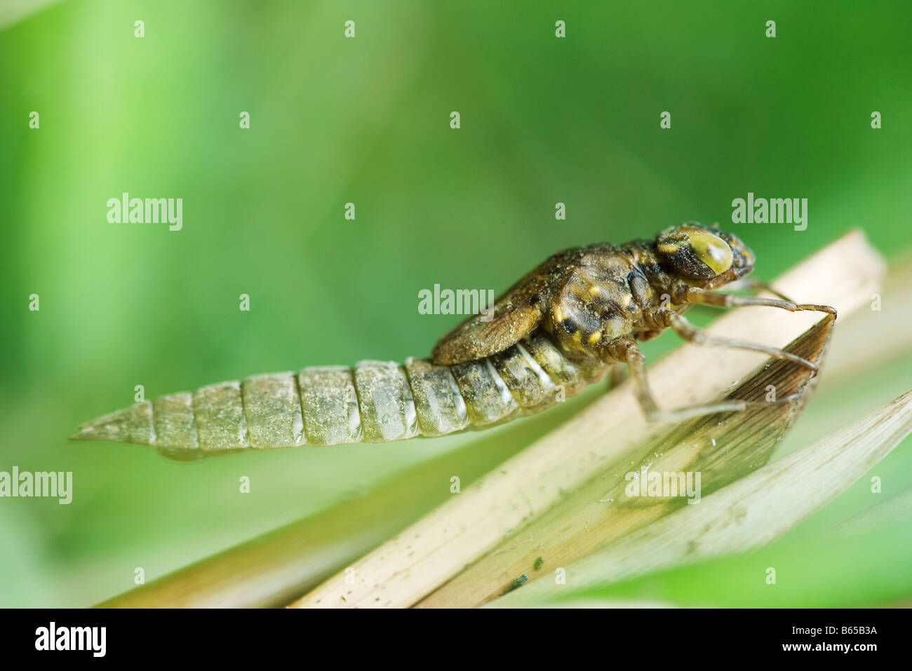 Empty dragonfly exoskeleton clinging onto dried plant stalk - Stock Image