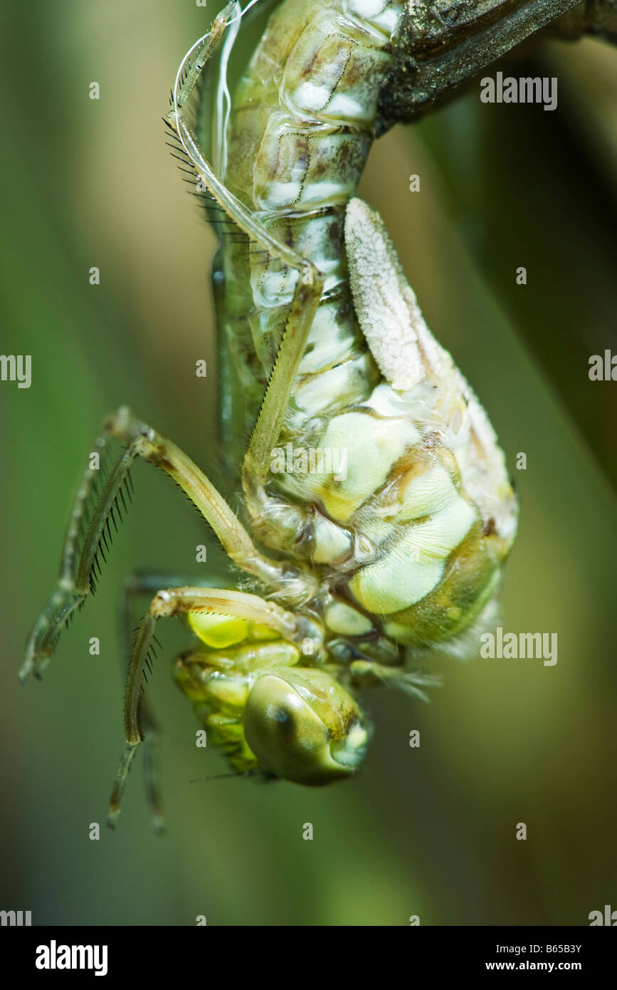 Molting dragonfly emerging from exoskeleton, close-up - Stock Image