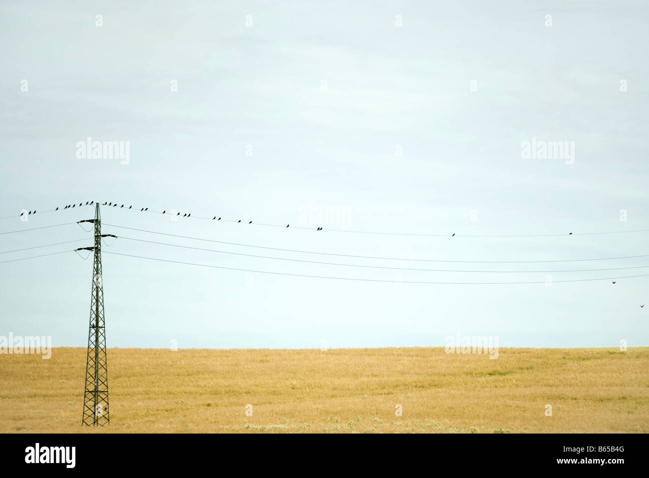 Power line over field, birds perching on top wire - Stock Image