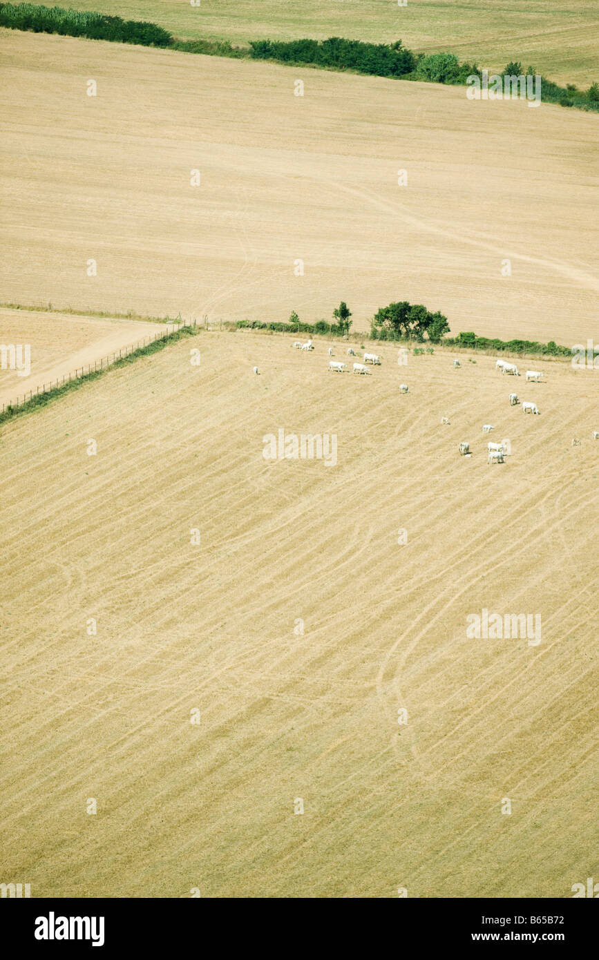 Aerial view of cows in pasture - Stock Image