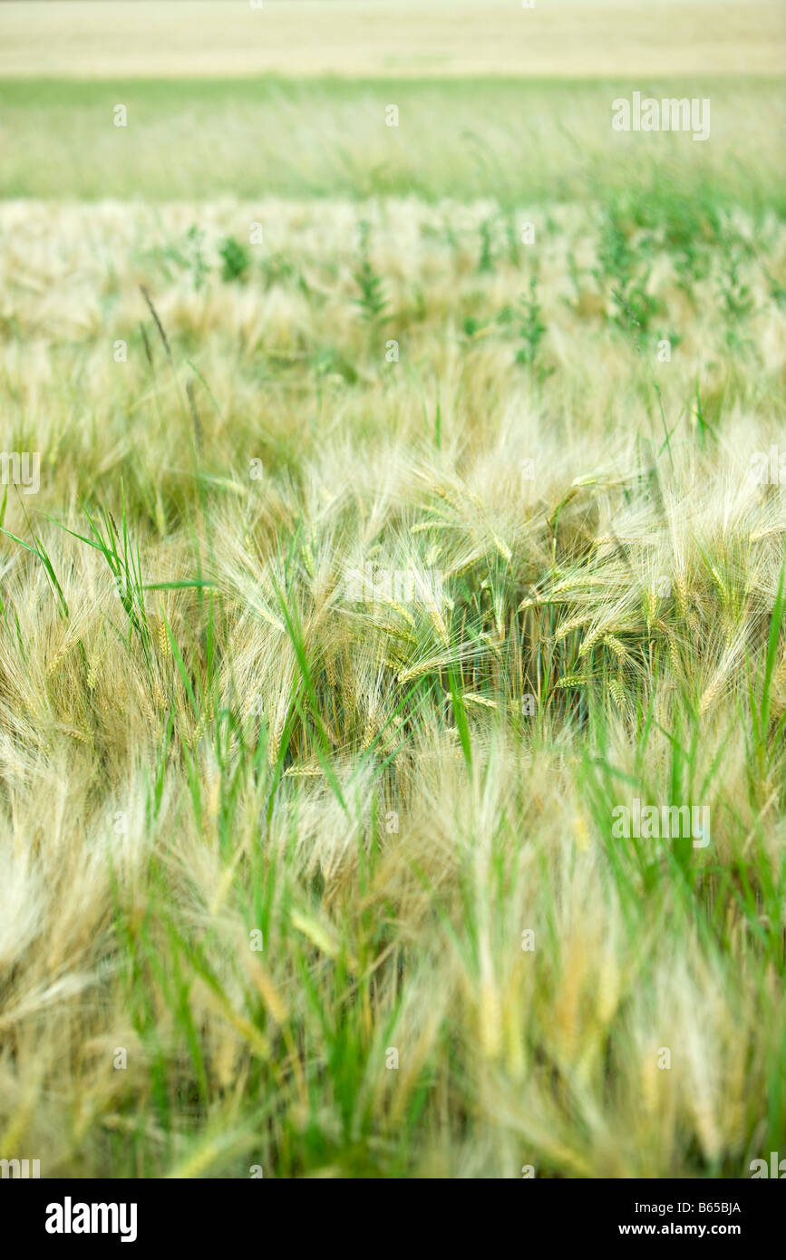Wheatfield, close-up - Stock Image
