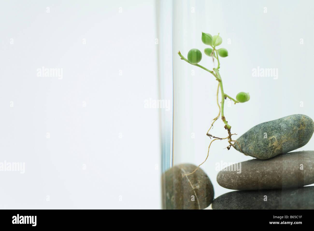 Uprooted plant (Senecio Rowleyanus) on top of pile of rocks - Stock Image