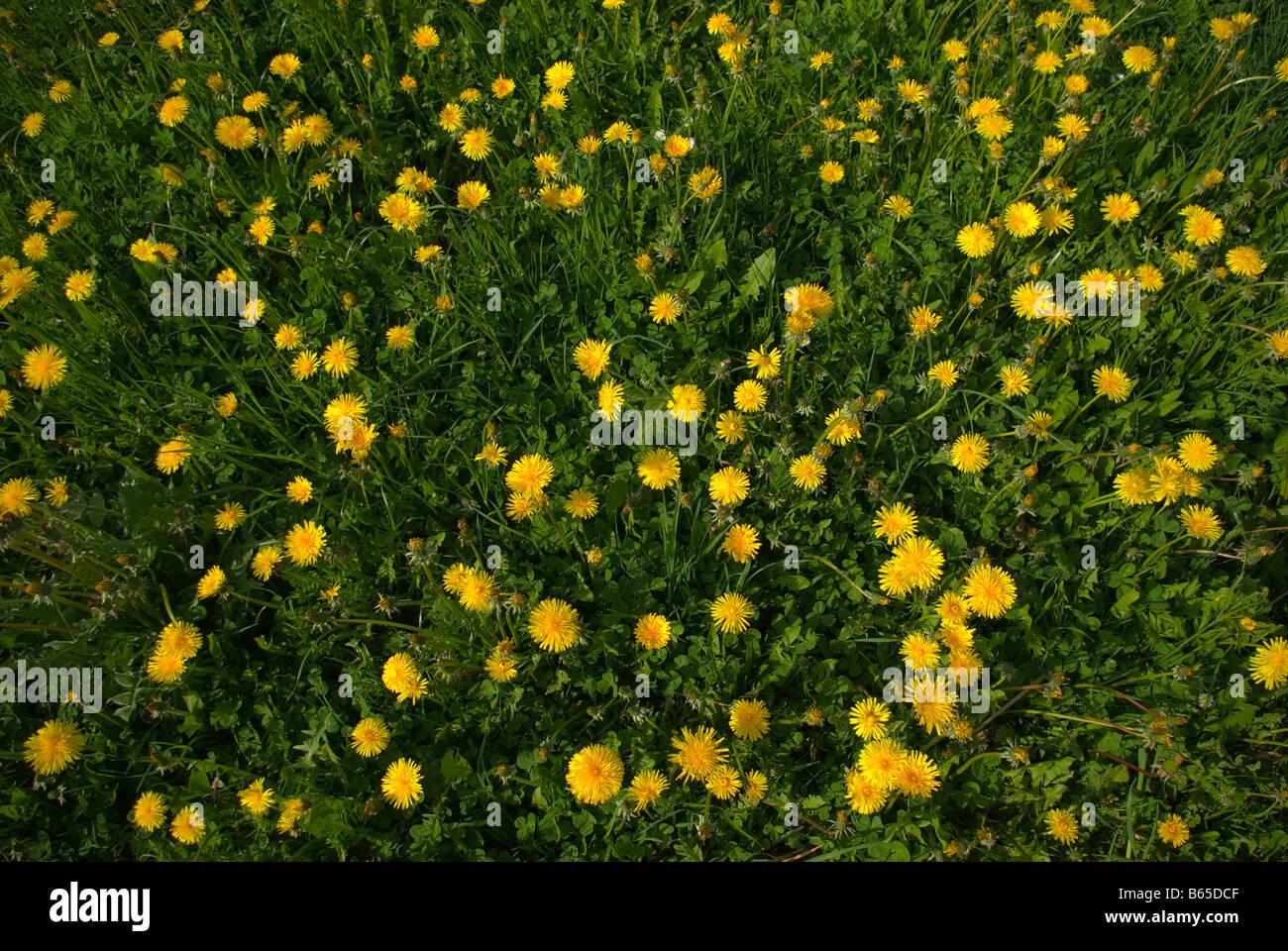 Dandelion Taraxacum Asteraceae - Stock Image