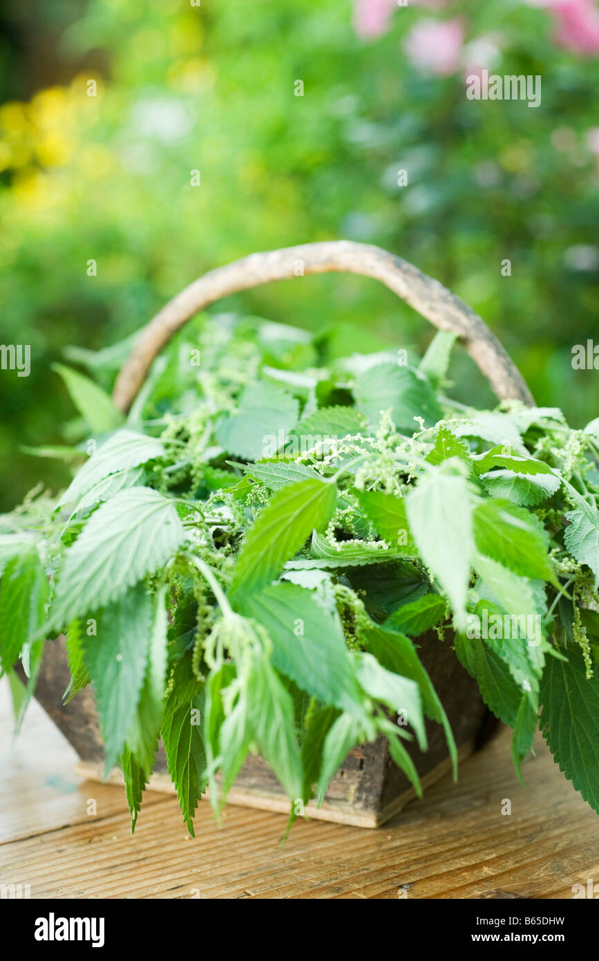 Basket full of stinging nettle (urtica dioica) - Stock Image