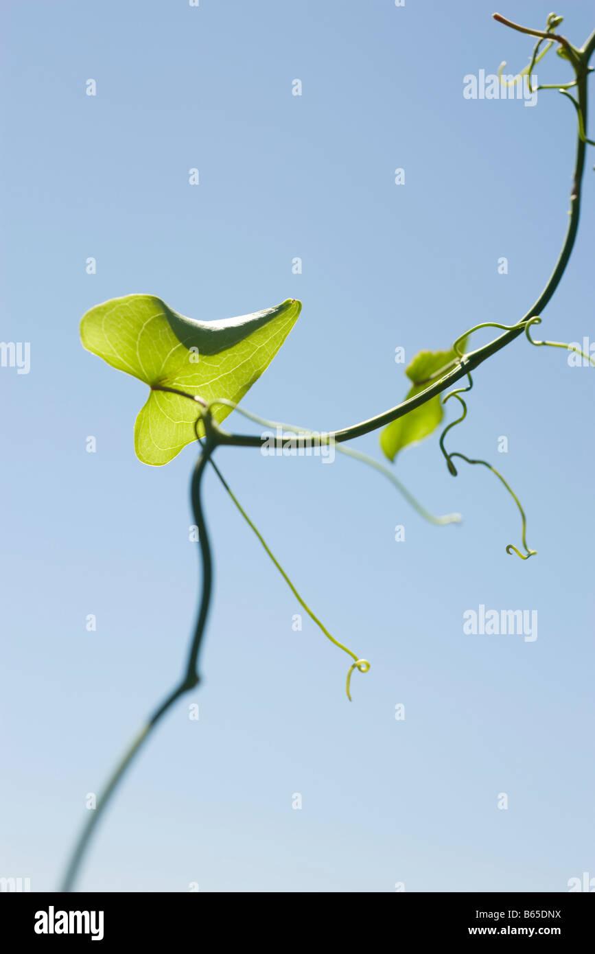 Leaf growing on slender vine - Stock Image