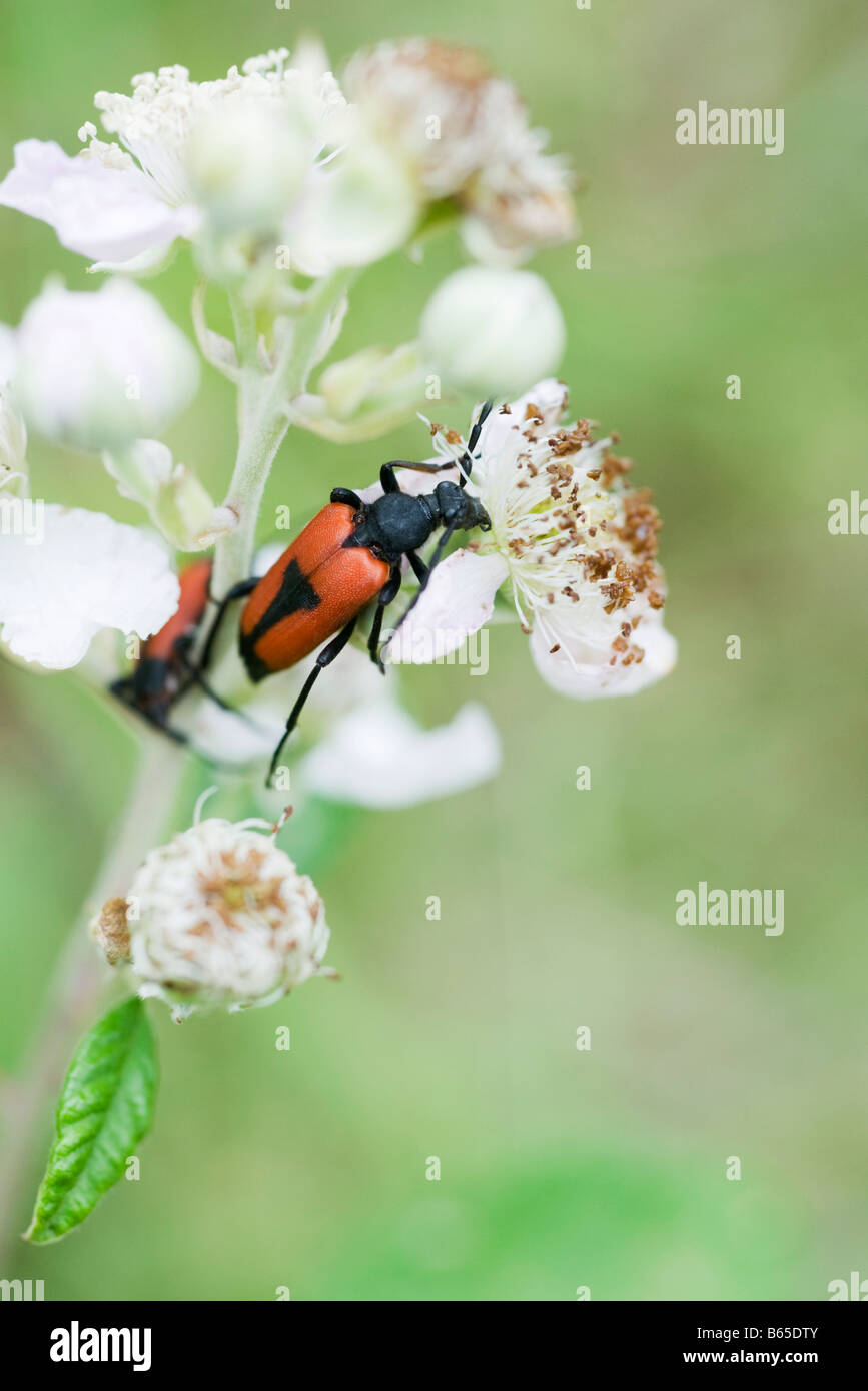 Shield bugs crawling on flower - Stock Image