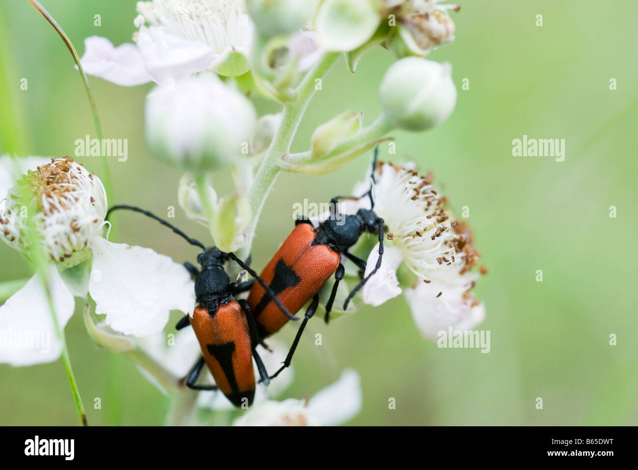 Shield bugs crawling on flowering plant - Stock Image