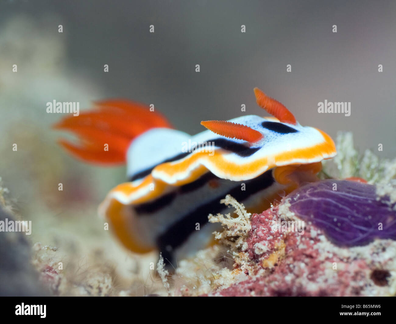 Nudibranch on a coral underwater Sipadan Celebes sea - Stock Image