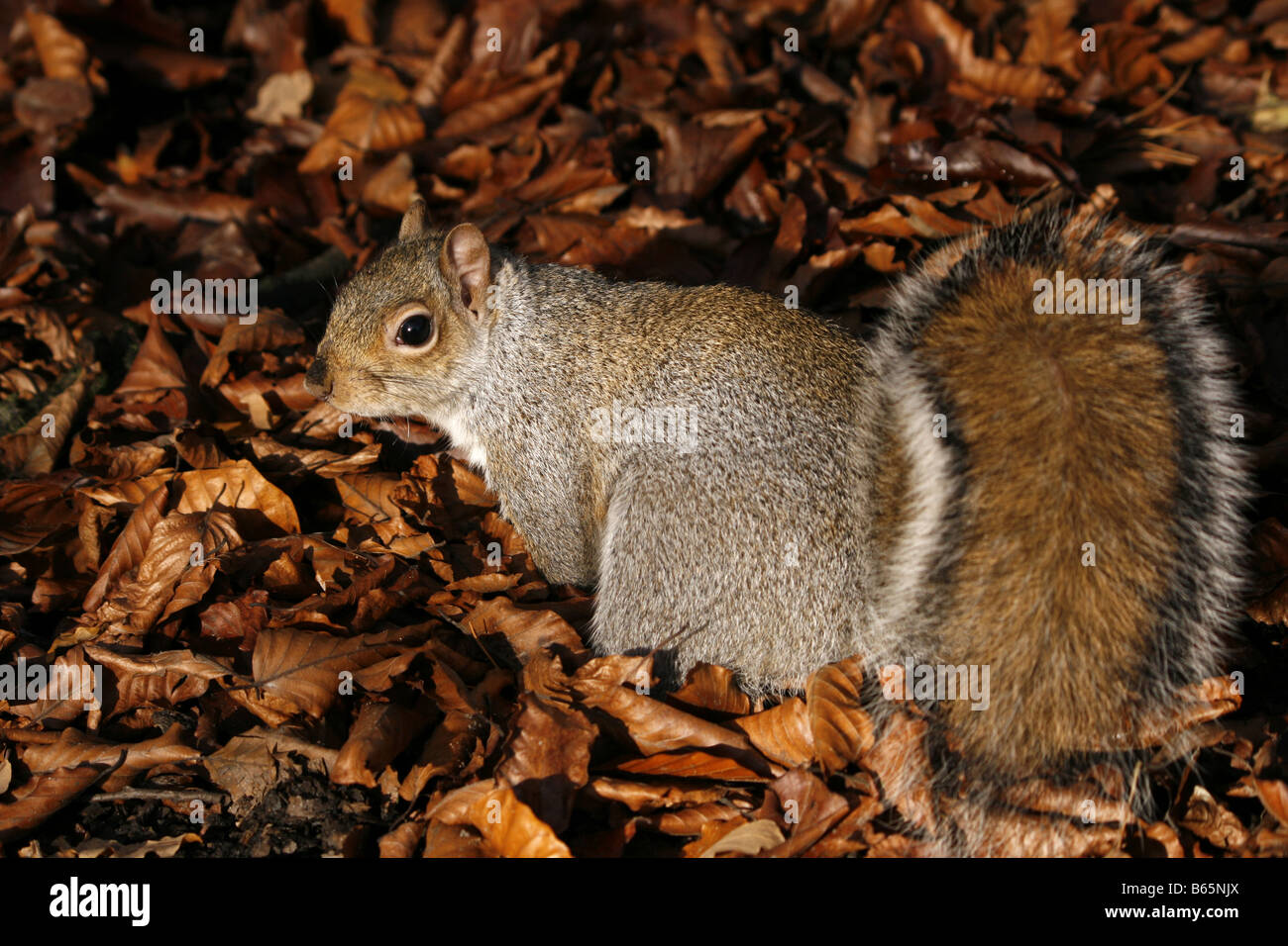 Grey squirrel (sciurus carolinensis) foraging amongst the beech leaves on the forest floor.  Taken in November. Stock Photo