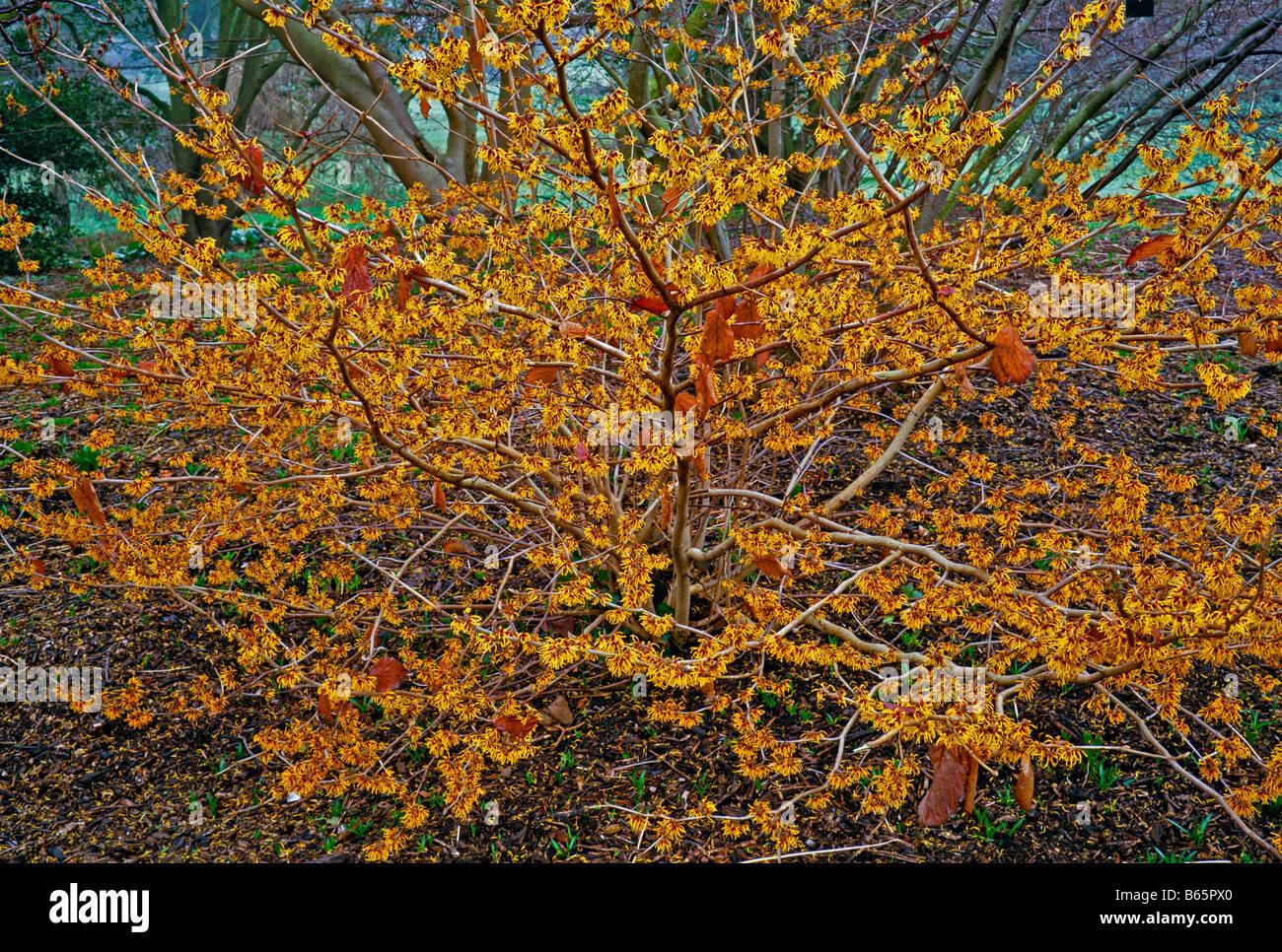 Hamamelis Mollis Coombe Wood Stock Photo 21026040 Alamy